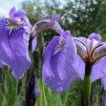 Купить семена, растение – Ирис щетинистый (Iris setosa)