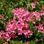 Купить семена, растение – Рододендрон жестковолосистый (Rhododendron hirsutum)