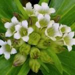 Купить семена, растение – Горечавка тибетская (Gentiana tibetica)