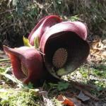 Купить семена, растение – Симплокарпус почколистный (Symplocarpus renifolius)