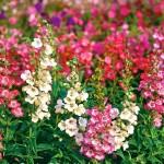 Купить семена, растение – Пенстемон горечавковидный (Penstemon gentianoides)