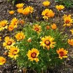 Купить семена, растение – Урсиния укропная Аврора (Ursinia anethoides)
