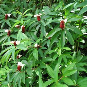 Купить семена, растение – Костус прекрасный (Costus speciosus)