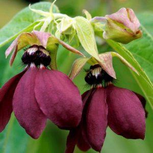 Купить семена, растение – Аброма Царственная (Abroma augustum)