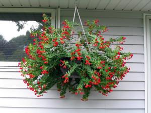 Купить семена, растение – Куфея распростертая (Сuphea procumbens)