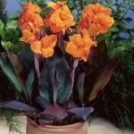 Купить растение Канна Вайоминг (Kanna Wyoming)
