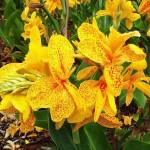 Купить растение Канна Йелоу Хамберт (Kanna Yellow Humbert)