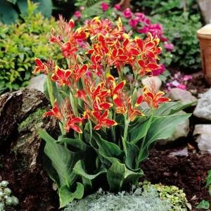 Купить растение Канна Дварф Люцифер (Kanna Dwarf Lucifer)
