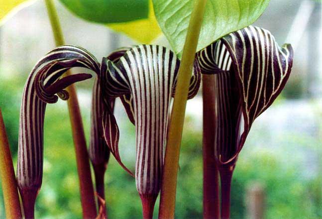 Купить растение Аризема Франше (Arisaema franchetianum)