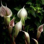 Купить растение Аризема белоснежнейшая (Arisaema Candidissimum)