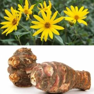 Купить растение Топинамбур 'Вадим' (Helianthus tuberosus)