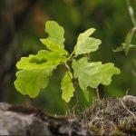 Купить растение Дуб черешчатый (Quercus robur)