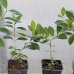 Купить растение Гуава, Псидиум (Psidium cattleianum)