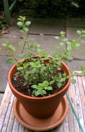 Купить растение Липпия сладкая (Lippia dulcis)