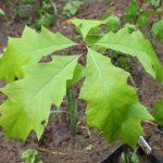 Купить растение Дуб красный (Quercus rubra)