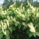 Купить растение Горец сахалинский (Reynoutria sachalinensis)