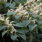 Купить растение Горец японский (Reynoutria japonica)