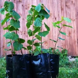 Купить растение Липа Сердцелистная (Tilia cordata)