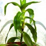 Купить растение Золотой ус (Callisia fragrans)