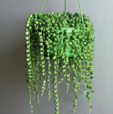 Купить растение Крестовник (Senecio rowleyanus)