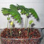 Купить растение Тамаринд индийский (Tamarindus indica)