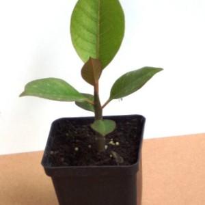 Купить растение Плюмерия (Plumeria)