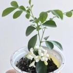 Купить растение Муррайя метельчатая (Murraya paniculata)