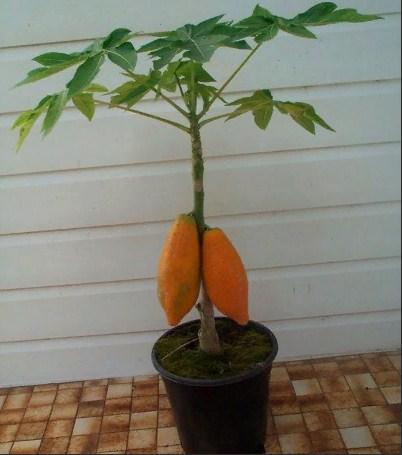 Купить растение Папайя (Carica papaya)