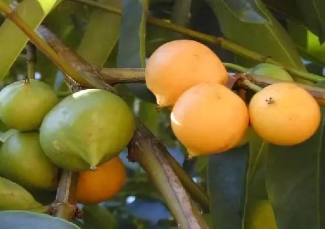 Купить растение Гарциния сладкая (garcinia dulcis)
