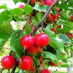 Купить семена, растение – Яблоня ягодная (Malus baccata)