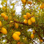 Купить семена, растение – Аргания колючая (Argania spinosa)