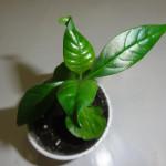 Купить семена, растение – Воаканга африканская (Voacanga africana)