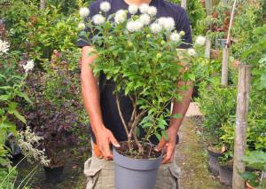 Купить семена, растение – Цветоголовник западный, Головач (Cephalanthus occidentalis)