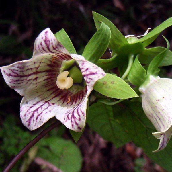 Купить семена, растение – Кодонопсис ланцетный (Codonopsis lanceolata)