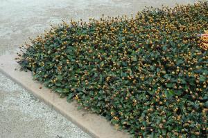 Купить семена, растение – Акмелла огородная (Acmella oleracea)
