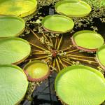 Купить семена, растение – Виктория амазонская (Victoria amazonica)