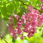 Купить семена, растение – Робиния щетинистоволосая (Robinia hispida)
