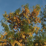 Купить семена, растение – Ясень манновый (Fraxinus ornus)