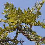 Купить семена, растение – Босвеллия пильчатая (Boswellia serrata)