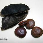 Купить семена, растение – Мукуна гигантская (Mucuna gigantea)