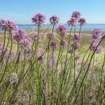 Купить семена, растение – Лук шаровидный (Allium globosum)