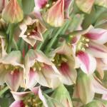 Купить семена, растение – Нектароскордум сицилийский (Nectaroscordum siculum)