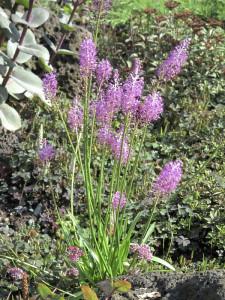 Купить семена, растение – Барнардия японская (Scilla scilloides)