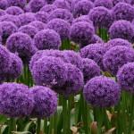 Купить семена, растение – Афлатунский лук (Allium aflatunense)