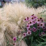 Купить семена, растение – Мексиканский ковыль (Stipa tenuissima)