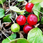 Купить семена, растение – Красника, Клоповка (Vaccinium praestans)