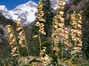 Купить семена, растение – Наперстянка крупноцветковая (Digitalis grandiflora)