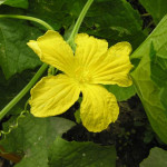 Купить семена, растение – Тыква фиголистная (Cucurbita ficifolia)