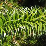 Купить семена, растение – Куннингамия ланцетовидная (Cunninghamia lanceolata)