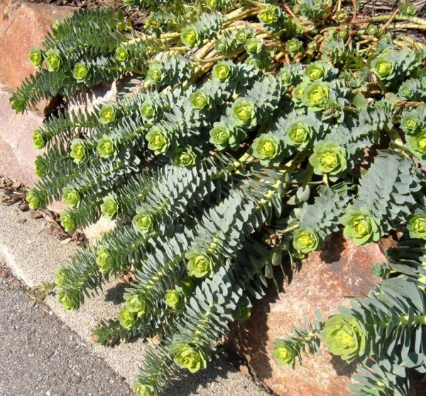Купить семена, растение – Молочай миртолистный (Euphorbia myrsinites)